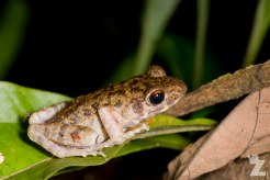Hylarana glandulosa [ROUGH-SIDED FROG]