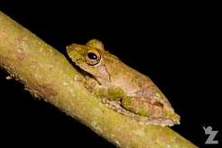 Kurixalus appendiculatus [FRILLED TREE FROG]