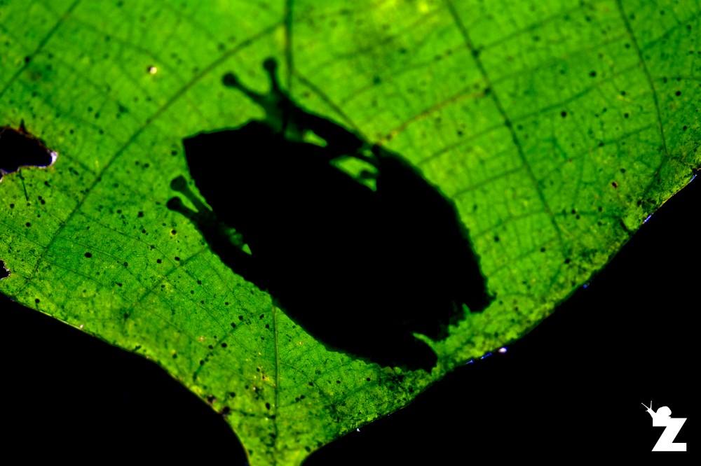 Kurixalus appendiculatus [FRILLED-TREE FROG] Sabah, Borneo 10-10-2017
