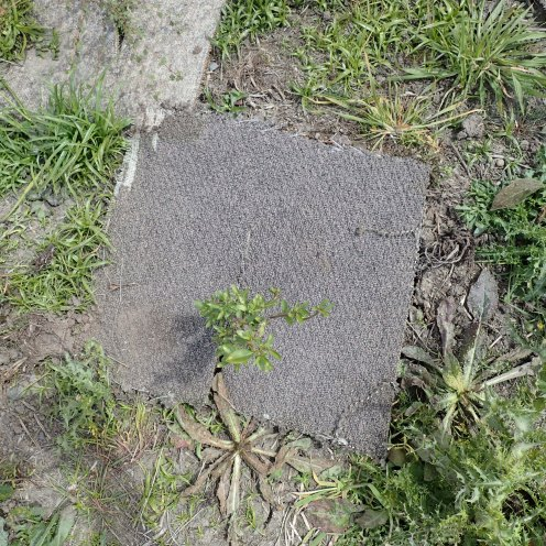 The carpet square under which we found the clutch of plague skink eggs