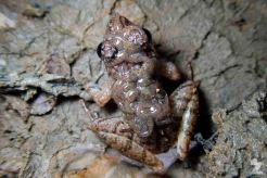 Limnonectes finchi [ROUGH GUARDIAN FROG] with tadpoles