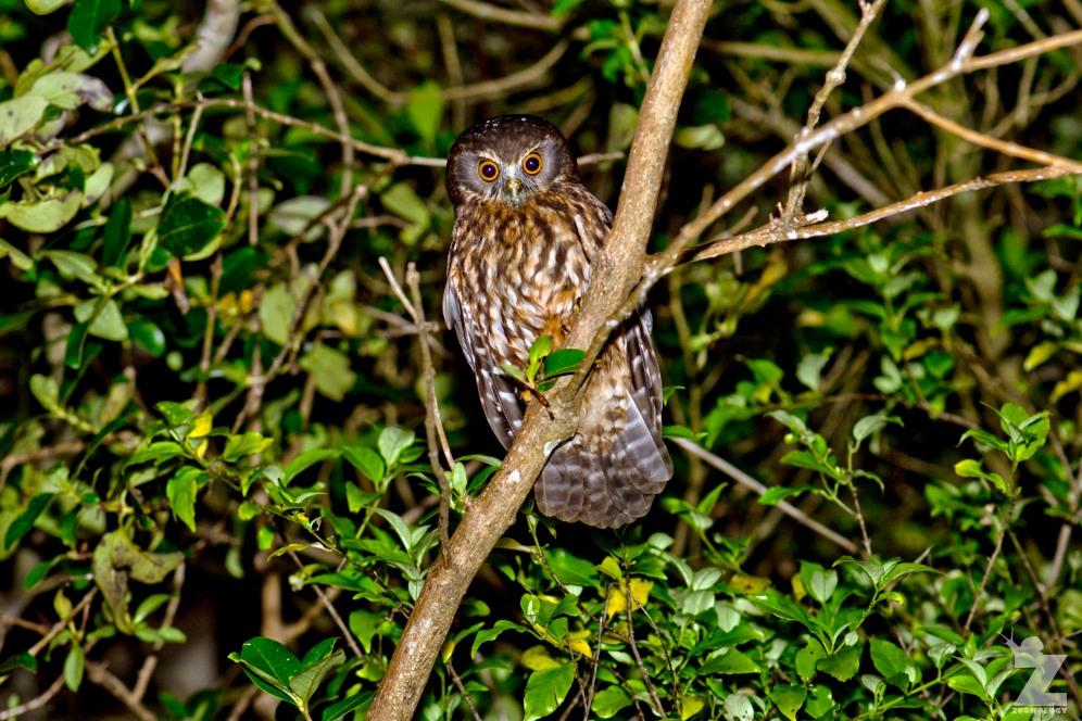 Ninox novaeseelandiae [RURU] Bushy Park, New Zealand 24-11-2017 (2)