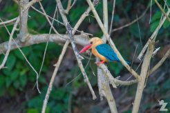 Pelargopsis capensis [STORK-BILLED KINGFISHER] Sabah, Borneo 12-10-2017