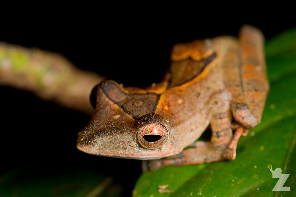 A Few Forest Frogs: https://zoomologyblog.wordpress.com/2017/11/08/a-few-forest-frogs/