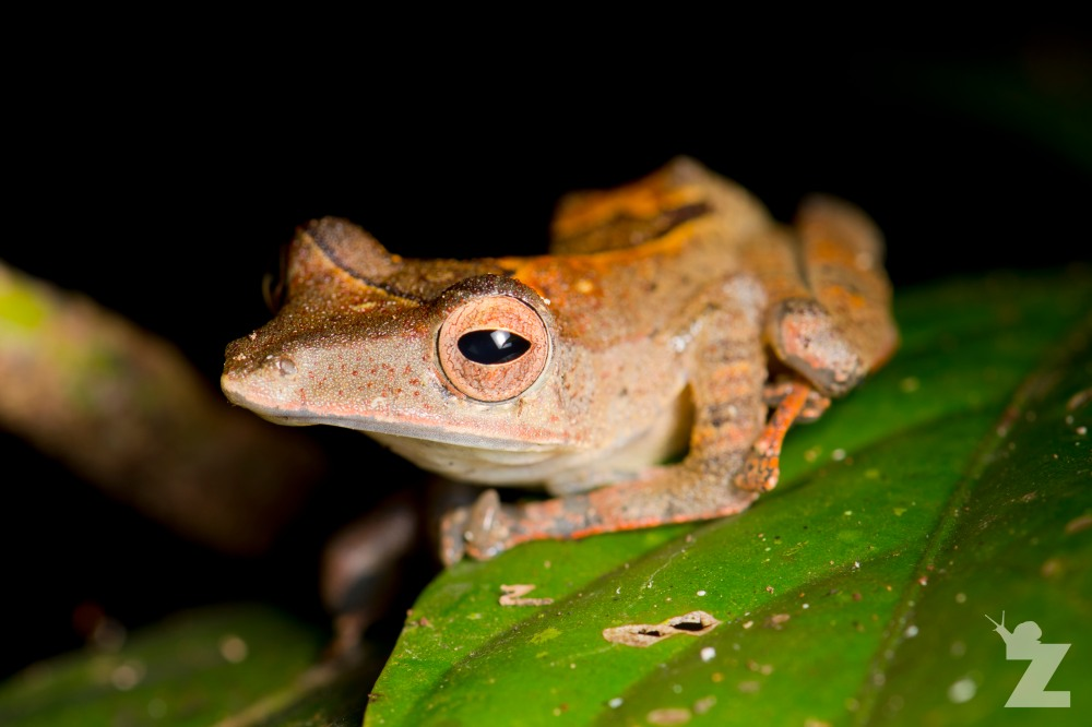 Polypedates colletti [COLLETT'S TREE FROG] Sabah, Borneo 08-10-2017