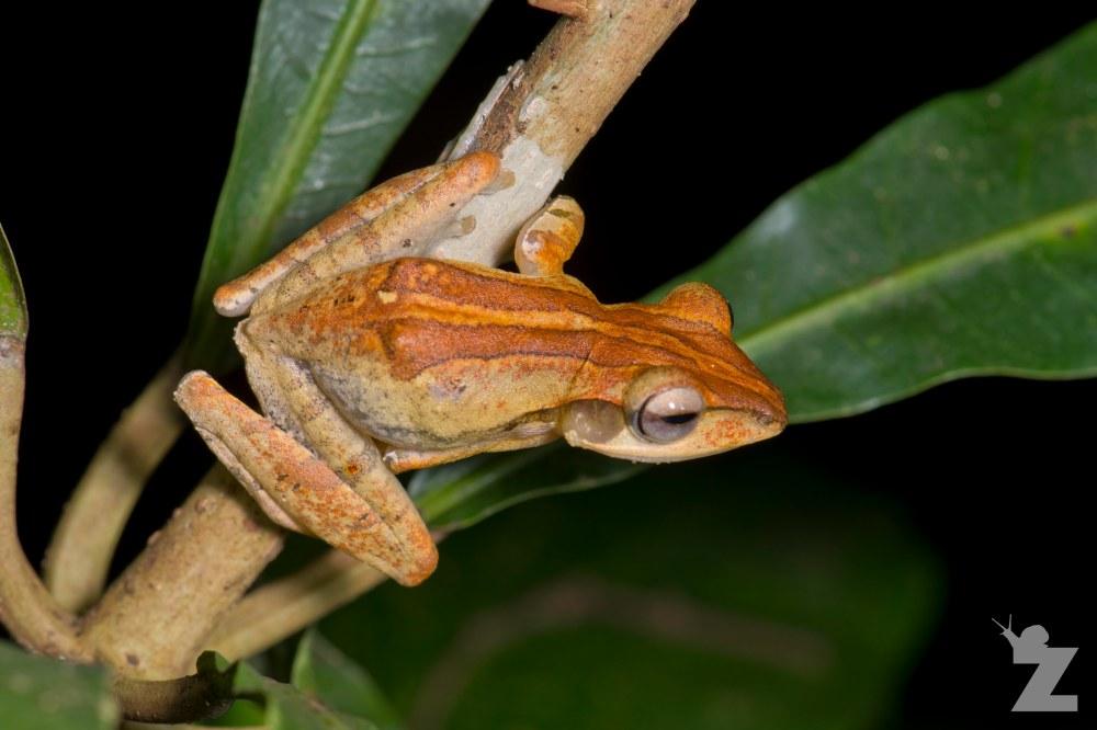 Polypedates leucomystax [FOUR-LINED TREE FROG] Sabah, Borneo 08-10-2017