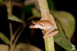 Polypedates macrotis [DARK-EARED TREE FROG]