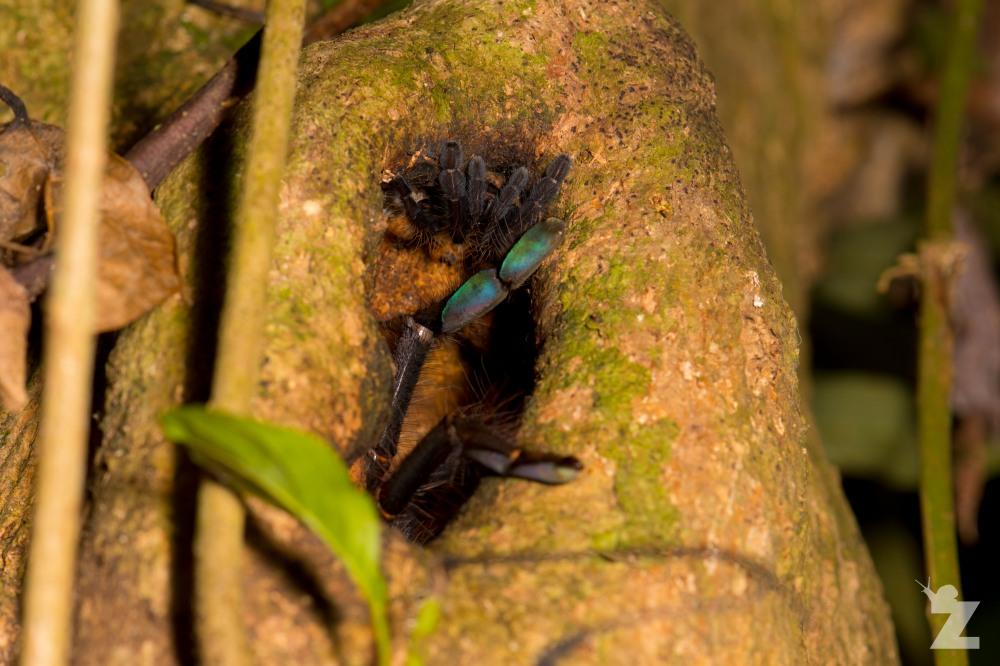 Theraphosidae [Tarantula] Sabah, Borneo 11-10-2017 (10).jpg