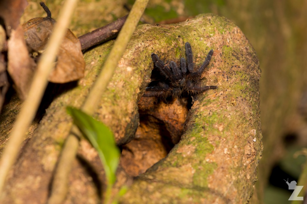 Theraphosidae [Tarantula] Sabah, Borneo 11-10-2017 (2).jpg