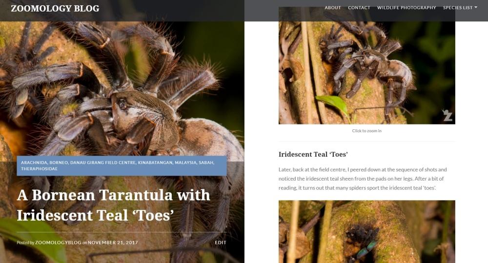 Zoomology Tarantula
