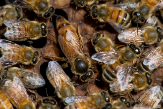 Apis mellifera [QUEEN HONEY BEE] Manawatu, New Zealand 02-11-2017
