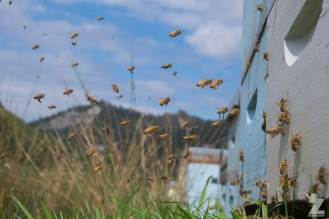 Bees coming and going from the hive