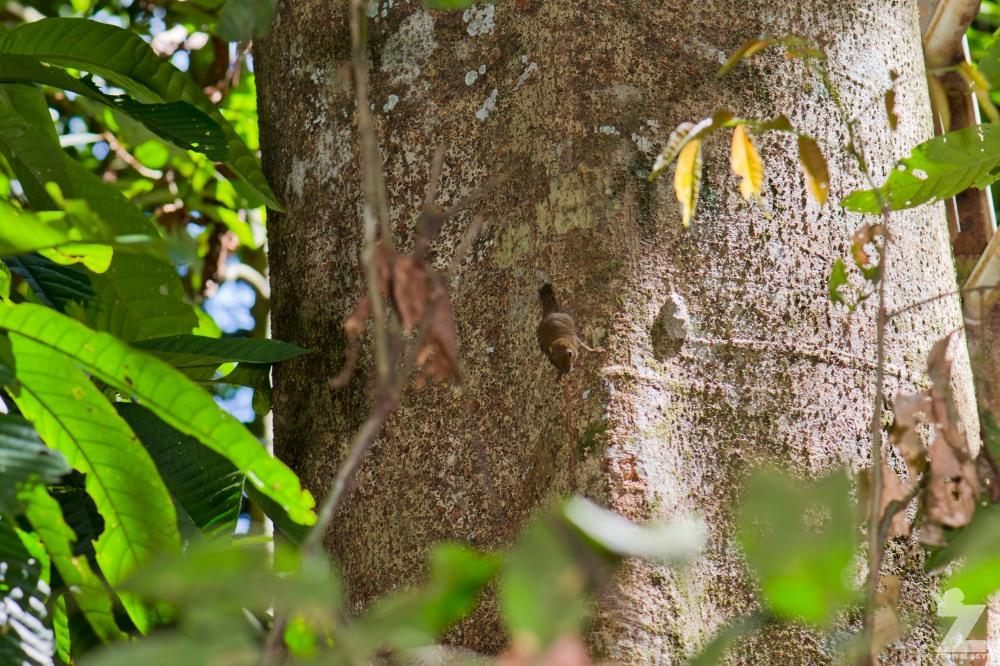 Exilisciurus exilis [LEAST PYGMY SQUIRREL] Sabah, Borneo 12-10-2017 (2).jpg