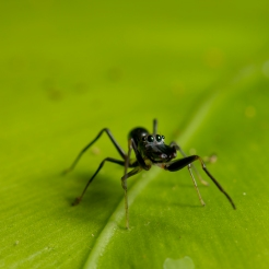 Myrmarachne sp. [ANT MIMICKING JUMPING SPIDER] Sabah, Borneo 10-10-2017 (11)