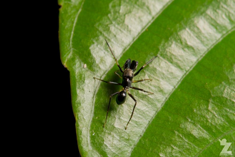 Myrmarachne sp. [ANT MIMICKING JUMPING SPIDER] Sabah, Borneo 10-10-2017 (3).jpg