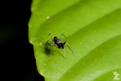 Myrmarachne sp. [ANT MIMICKING JUMPING SPIDER] Sabah, Borneo 10-10-2017 (4)