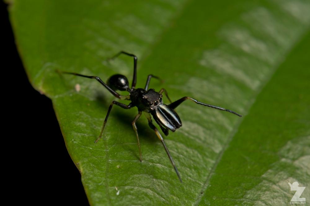 Myrmarachne sp. [ANT MIMICKING JUMPING SPIDER] Sabah, Borneo 10-10-2017 (5)