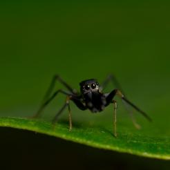 Myrmarachne sp. [ANT MIMICKING JUMPING SPIDER] Sabah, Borneo 10-10-2017 (8)