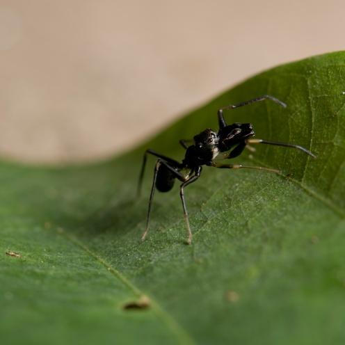 Myrmarachne sp. [ANT MIMICKING JUMPING SPIDER] Sabah, Borneo 10-10-2017 (9)