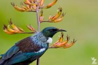 Prosthemadera novaeseelandiae [TUI] Whanganui, New Zealand 16-11-2017 (5)