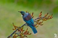 Prosthemadera novaeseelandiae [TUI] Whanganui, New Zealand 16-11-2017 (6)