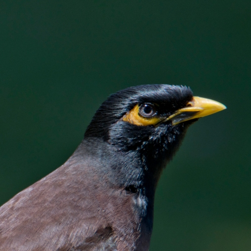 A common myna (Acridotheres tristis). Introduced.