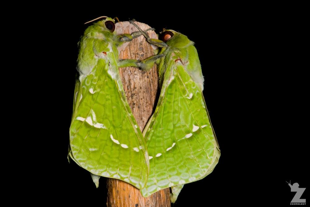 Aenetus virescens [PURIRI MOTH ♂] Whareroa, New Zealand 21-10-2017 (3)
