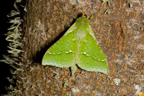 Aenetus virescens [PURIRI MOTH ♂] Whareroa, New Zealand 21-10-2017 (4)
