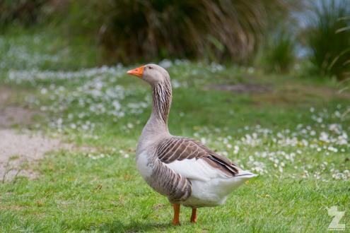 Anser anser [GREYLAG GOOSE] Virginia Lake, New Zealand 05-11-2017