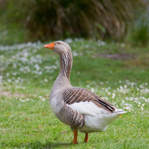 Anser anser [GREYLAG GOOSE] Virginia Lake, New Zealand 05-11-2017