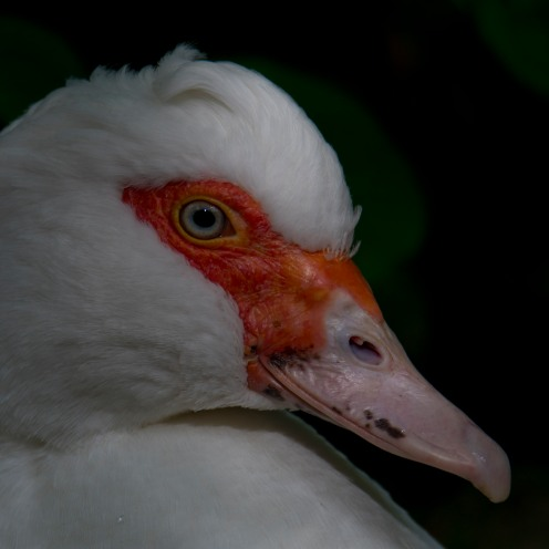 A muscovy duck (Cairina moschata). Introduced, but not established.