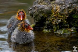 Fulica atra australis [AUSTRALIAN COOT] Virginia Lake, New Zealand 05-11-2017 (10)