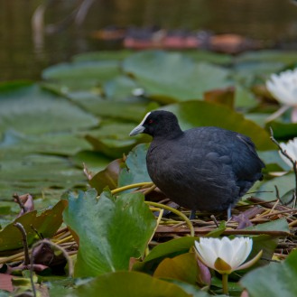 Fulica atra australis [AUSTRALIAN COOT] Virginia Lake, New Zealand 05-11-2017 (2)
