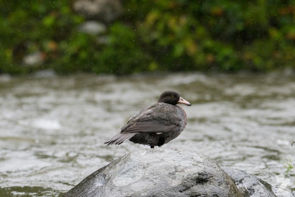 Hymenolaimus malacorhynchos [WHIO] Ruatiti, New Zealand 05-01-18 (16)