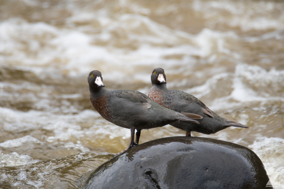 Hymenolaimus malacorhynchos [WHIO] Ruatiti, New Zealand 06-01-18 (42)