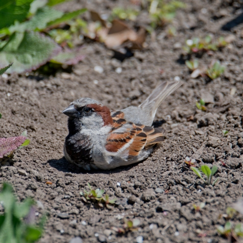 A male house sparrow (Passer domesticus). Introduced.