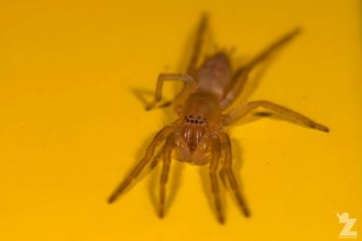 Leafcurling Sac Spider (Clubiona sp.)
