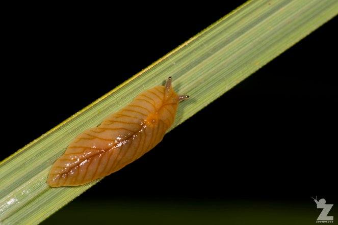 Leaf-veined Slug (Athoracophorus bitentaculatus)