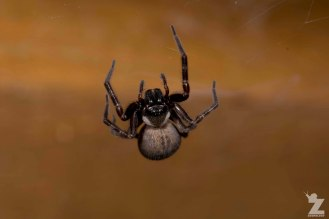 Grey House Spider (Badumna longinqua)
