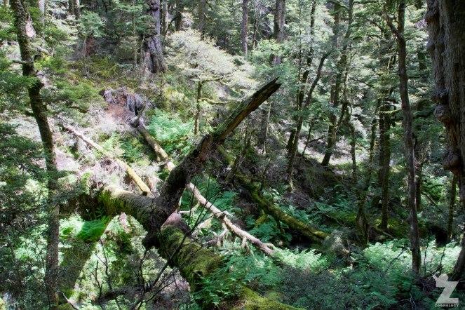 Beech Forest (2) Kaweka Forest Park, New Zealand 20-01-2018