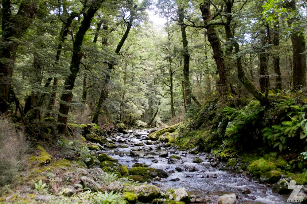 Beech Forest and Streams Kaweka Forest Park, New Zealand 20-01-2018
