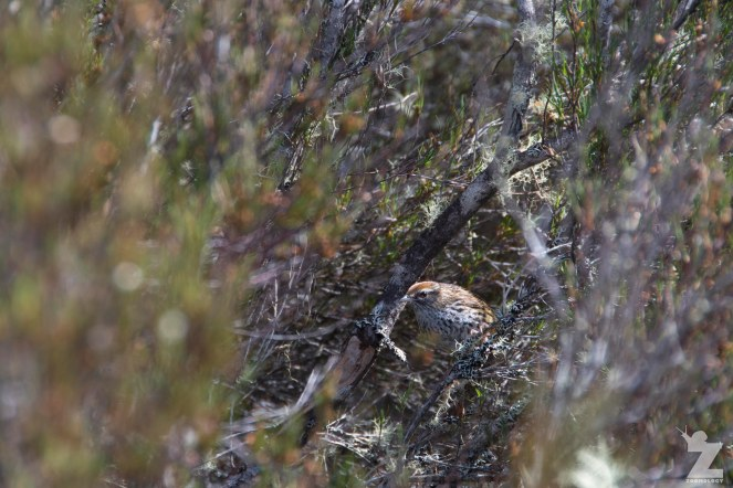 North Island Fernbird (Megalurus punctatus ssp. vealeae)
