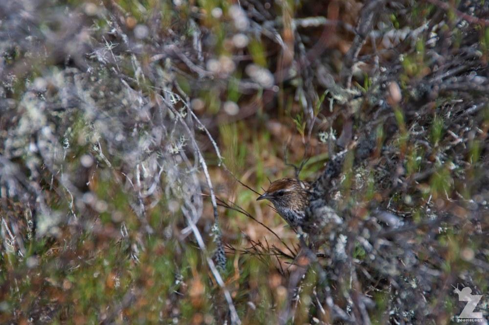 Bowdleria punctata [NORTH ISLAND FERNBIRD] Kaweka Forest Park, New Zealand 21-01-2018 (11).jpg