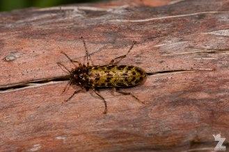 Darkling Beetle (Tenebrionidae)