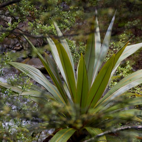 Mountain Cabbage Tree (Cordyline indivisa)