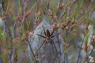 Nurseryweb Spider (Dolomedes minor)