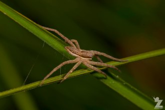 Nurseryweb Spider (Dolomedes minor)