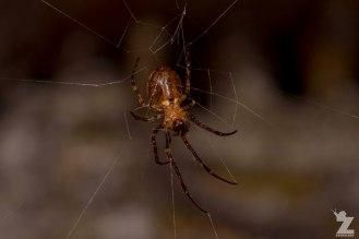 Square-ended Cobweb Spider (Episinus sp.)