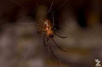 Square-ended Cobweb Spider (Episinus sp.)