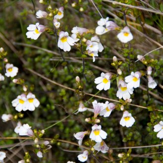 North Island Eyebright (Euphrasia cuneata)